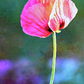 Pink Poppy In The Evening Light by Anita Pollak