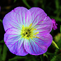 Pink Primrose by Kevin Gladwell