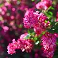 Pink Profusion 1 by Mo Barton