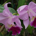 Pink Purple Orchids by Rob Hans
