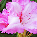 Pink Rhododendron Art Print Floral Canvas Rhodies Baslee Troutman by Baslee Troutman