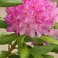 Pink Rhododendron by Jim And Emily Bush