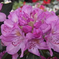 Soft Purple Rhododendron  by Lingfai Leung