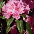 Pink Rhododendron by Lisa Cassinari