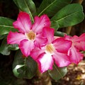 Pink Rhododendron by Patti Bean