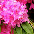 Pink Rhododendron by Teri Virbickis