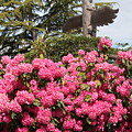 Pink Rhododendrons With Totem Pole by Carol Groenen