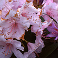 Pink Rhododendrums  by Lyle Crump