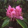 Pink Roadie 1 by HW Kateley