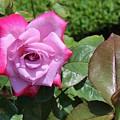 Pink Rose 1 by Karen Desrosiers