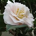Pink Rose 2 by Cindy Kellogg