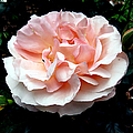 Pink Rose 4 by J M Farris Photography