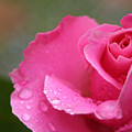 Pink Rose After The Rain by Melanie Rainey