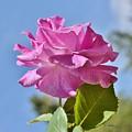 Pink Rose Against Blue Sky I by Linda Brody