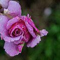Pink Rose by Annerose Walz