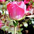 Pink - Rose Bud - Beauty by D Hackett