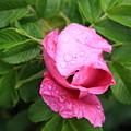 Pink Rose Bud by Doug Mills