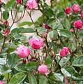 Pink Rose Buds by Carol Groenen