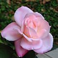 Pink Rose by Carla Parris