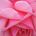 Pink Rose by Christina Geiger