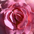 Pink Rose by Clayton Bruster