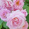 Pink Rose Cluster II by Regina Geoghan