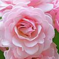Pink Rose Cluster IIi by Regina Geoghan