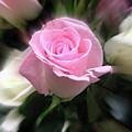 Pink Rose  by Ellen Stanton