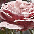 Pink Rose Faded by Sharon Popek
