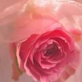 Pink Rose Fantasy 3 by Tara Shalton