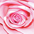 Pink Rose by Frances Lewis