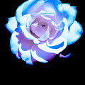 Pink Rose Has The Blues by Heather Joyce Morrill