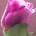 Pink Rose In Light by Hal Halli