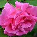 Pink Rose In Profile by Belinda Stucki