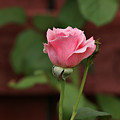 Pink Rose In The Garden by Sandy Keeton