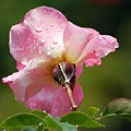 Pink Rose In The Rain 2 by Amy Fose