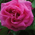 Pink Rose by Jost Houk