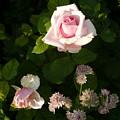 Pink Rose by Kate  Leikin