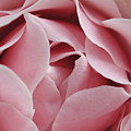 Pink Rose by Kathi Shotwell