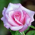Pink Rose by Kenneth Albin