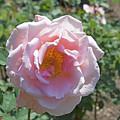 Pink Rose  by LaMont Johnson