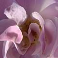 Pink Rose by Liz Vernand