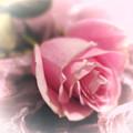 Pink Rose Macro Abstract 1 by Tara Shalton