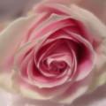 Pink Rose Macro Abstract by Tara Shalton