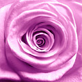 Pink Rose Macro Hdr by Johanna Hurmerinta
