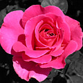 Perfect Pink Rose by Michael Bessler