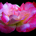 Pink Rose On Black 4 by J M Farris Photography
