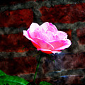 Pink Rose On Red Brick Wall by Bill Cannon