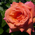 Pink Rose by Peter Moore