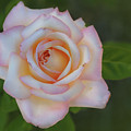 Pink Rose by Rick Mosher